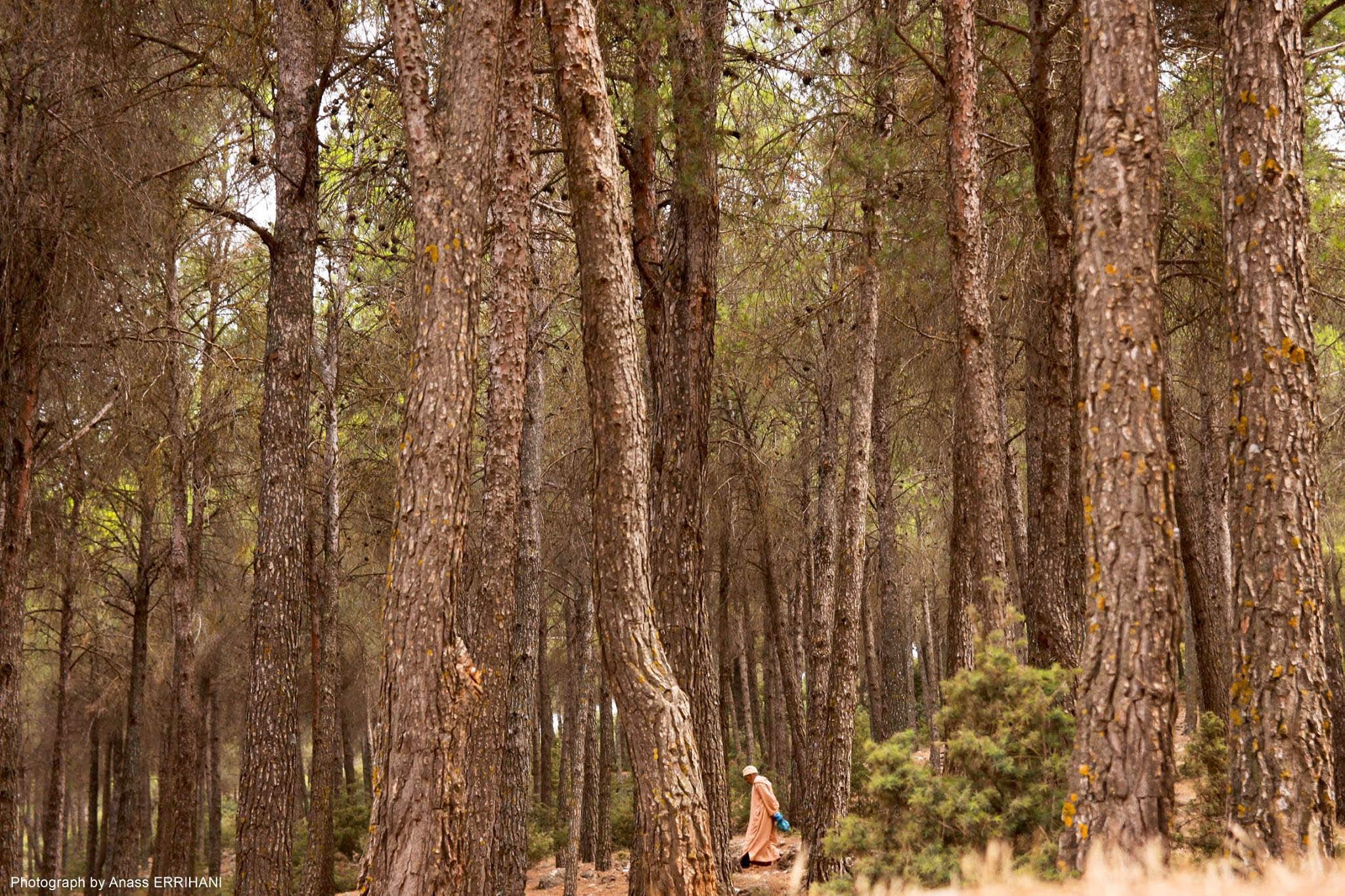 Forêt de cèdres à Immouzer