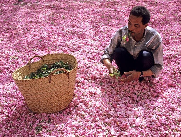 Vallée des Roses, la récolte