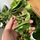 Thumbnail: Hoya Compacta Cutting