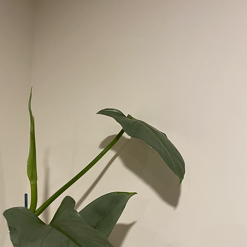 Philodendron Silver Sword - Cutting