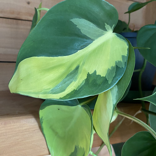 Philodendron Brazil - Cutting