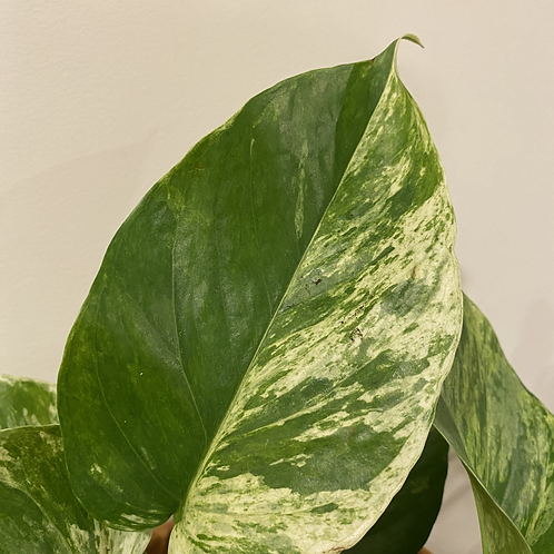 Marble Queen - Cutting