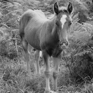 Retrato de un potro. Parres, Llanes. 1996