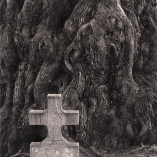 Tejo del cementerio de San Martín, Salas. 2009