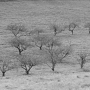 Manzanos, Carreño 2001