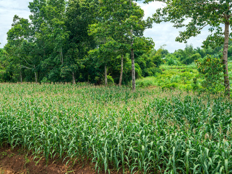 Practical advice for farmers to control Fall Armyworm