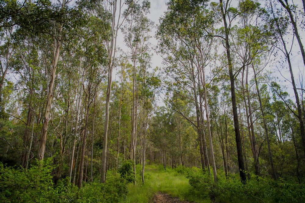 A green forest of trees in Mongo Valley Wildlife Sanctuary in NSW.