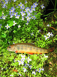 Wild Southen Appalachian Brook Trout with Bluets in the Pisgah National Forest