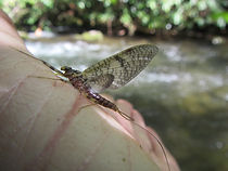 Mayfly on Trout stream in Great Smoky Mountains National Park