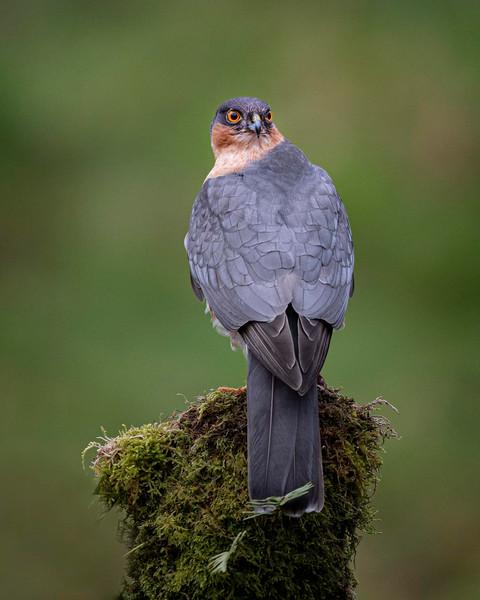 14 sparrowhawk.jpg