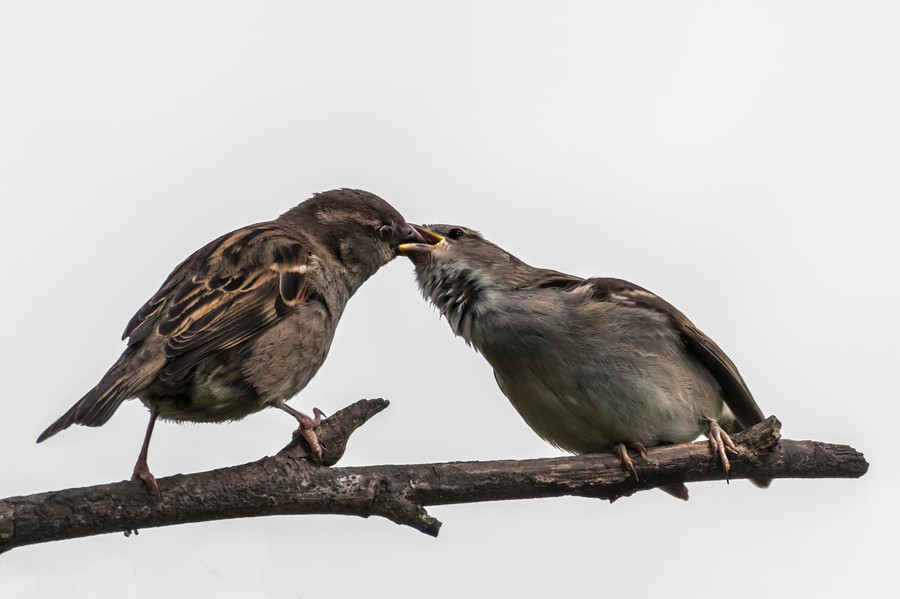 25 Mother Sparrow feeds grown chick.jpg
