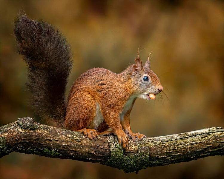 30 red Squirrel.jpg