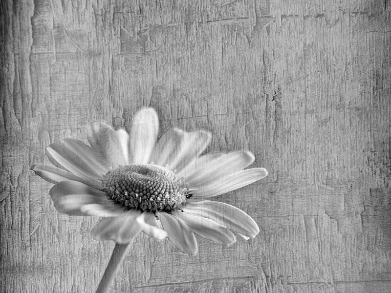 35 Lone Daisy.jpg