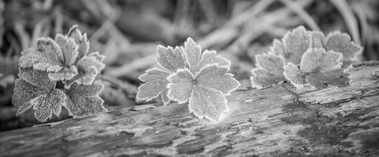 16 frosty morning leaves.jpg