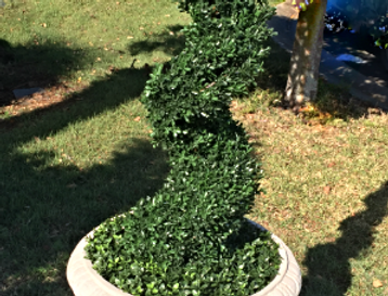 Topiary Spiral tree