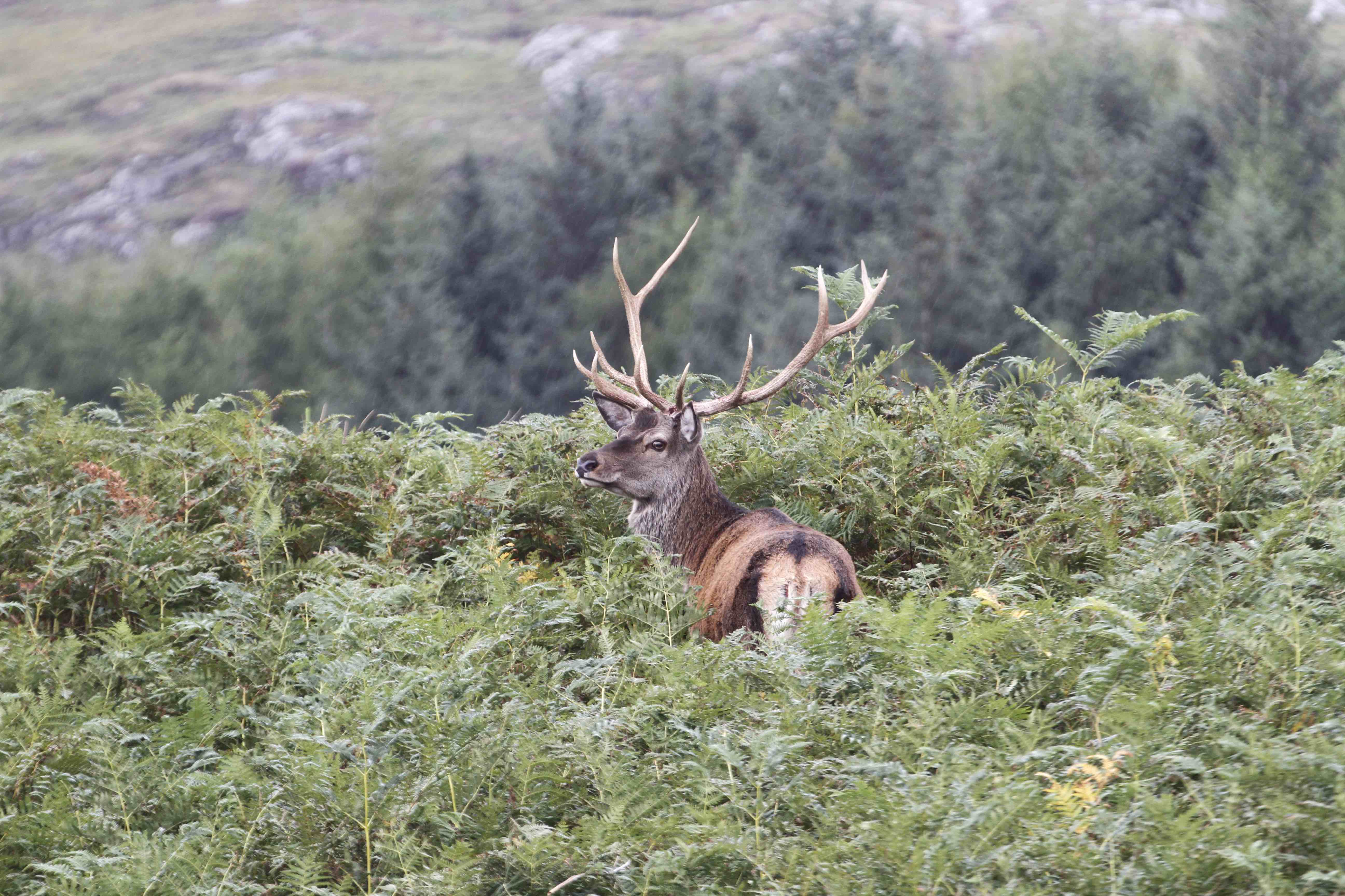 _stag in brackens