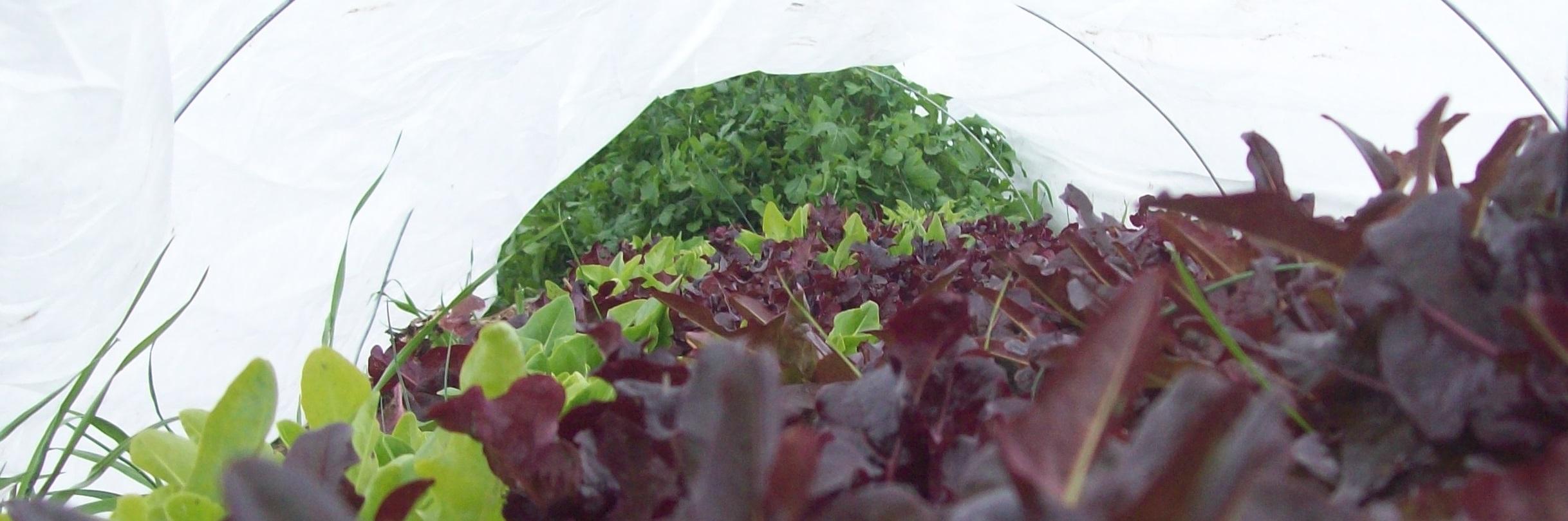 Salad Mix under row cover