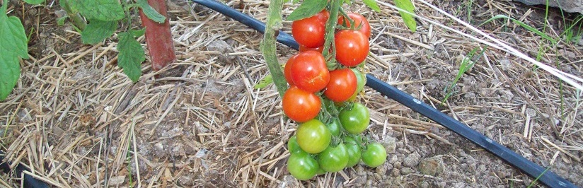 Cherry Tomatoes 3to1