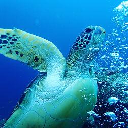 AnyConv.com__Blue turtle.jpg