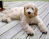 Euro Goldendoodle Puppies For Sale