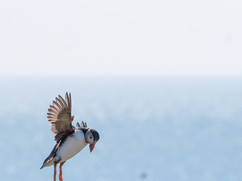 Puffin Searching for Food