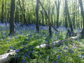 Brenscombe Woodland with the Bluebells out