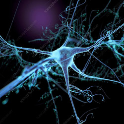 nerve and dendrites