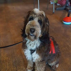 Ted the Cockapoo