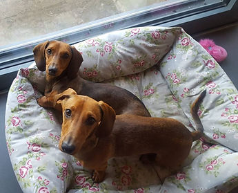 Frankie and Muffin the Daschunds