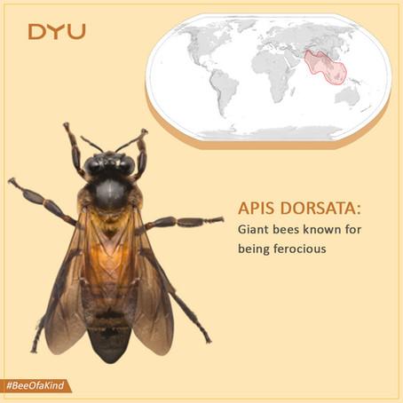 The giant Honey bee