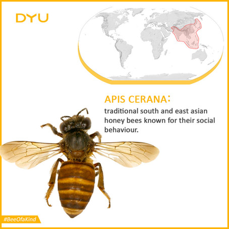 Indian Native Honey Bee