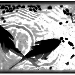 Positive Suckerfish and Pebbles #7