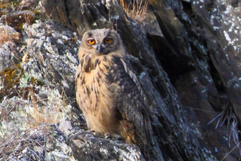 Owls at Heimbach,  Germany