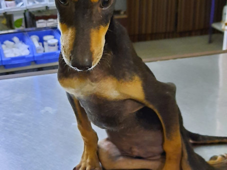 Bravo -  At only 4 months old was found with paralyzed hind legs.