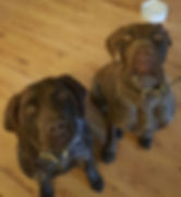 German Short Haired Pointer Couple Harpers Ferry Tails