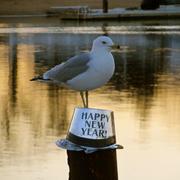 New Years Day Gull