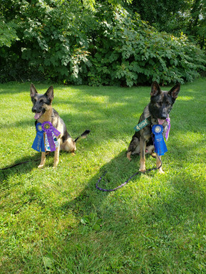 Nico and Axel Earn their AKC CD Titles