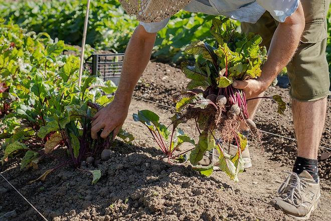 Harvesting beetroot.jpg