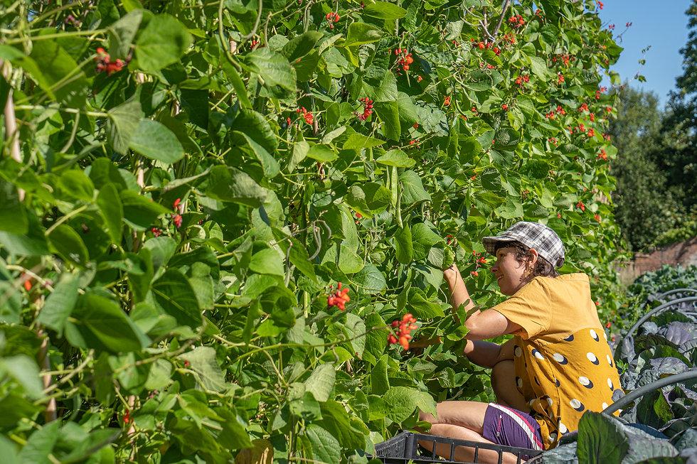 Emma harvesting for Food banks.jpg