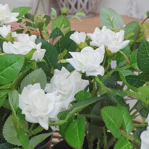 White Rose Plant