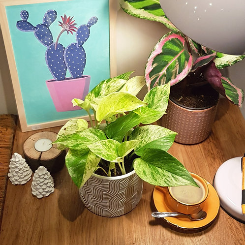 Pothos marble queen - pot de 12cm