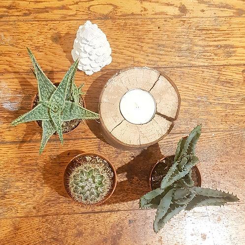 Lot 3 cactus et aloe décoratives pots de 5 cm