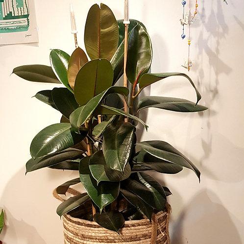 Ficus Elastica 3 pieds - Pot de 20 hauteur 100cm