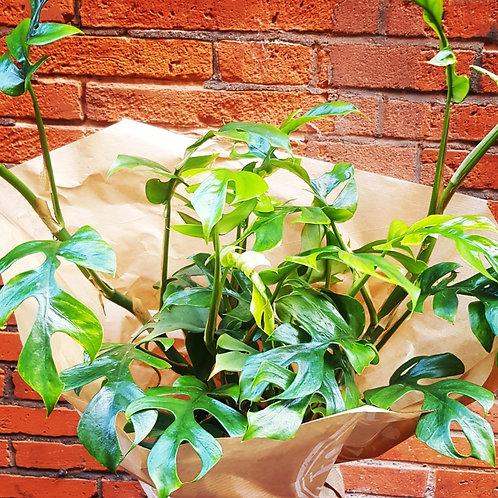 Philodendron Monstera minima - pot de 15cm
