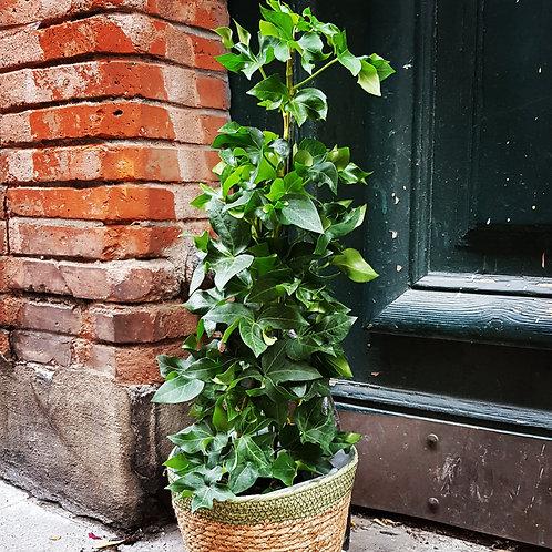 Fatshedera - Pot de 17 - hauteur 60cm