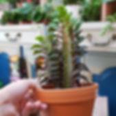 euphorbe succulente plante grasse cactus