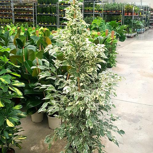 Ficus Benjamina Twilight- Pot de 22 hauteur 1m50