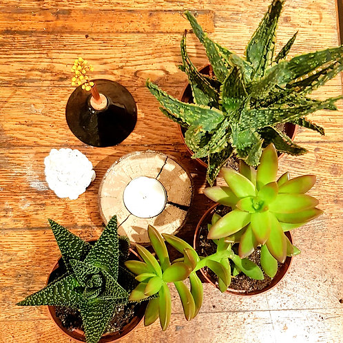Lot 3 succulentes pots de 9 et 12cm