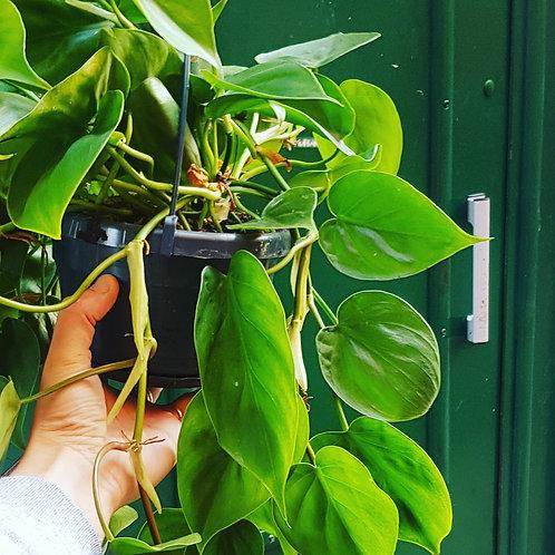 Philodendron Scandens - pot de 19cm