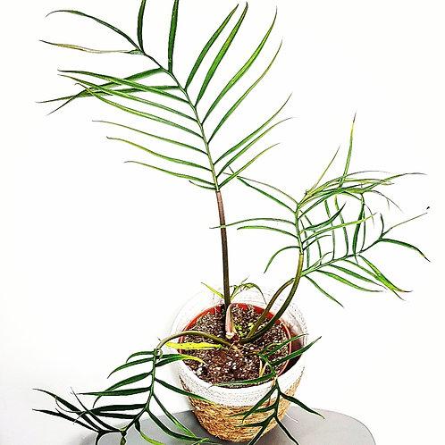 Philodendron Tortum - pot de 14cm